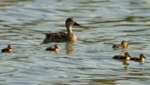 ducklingswithmama