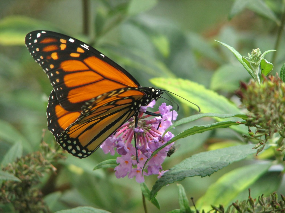 How to Attract Butterflies and Hummingbirds to Your Garden - Butterfly Bush