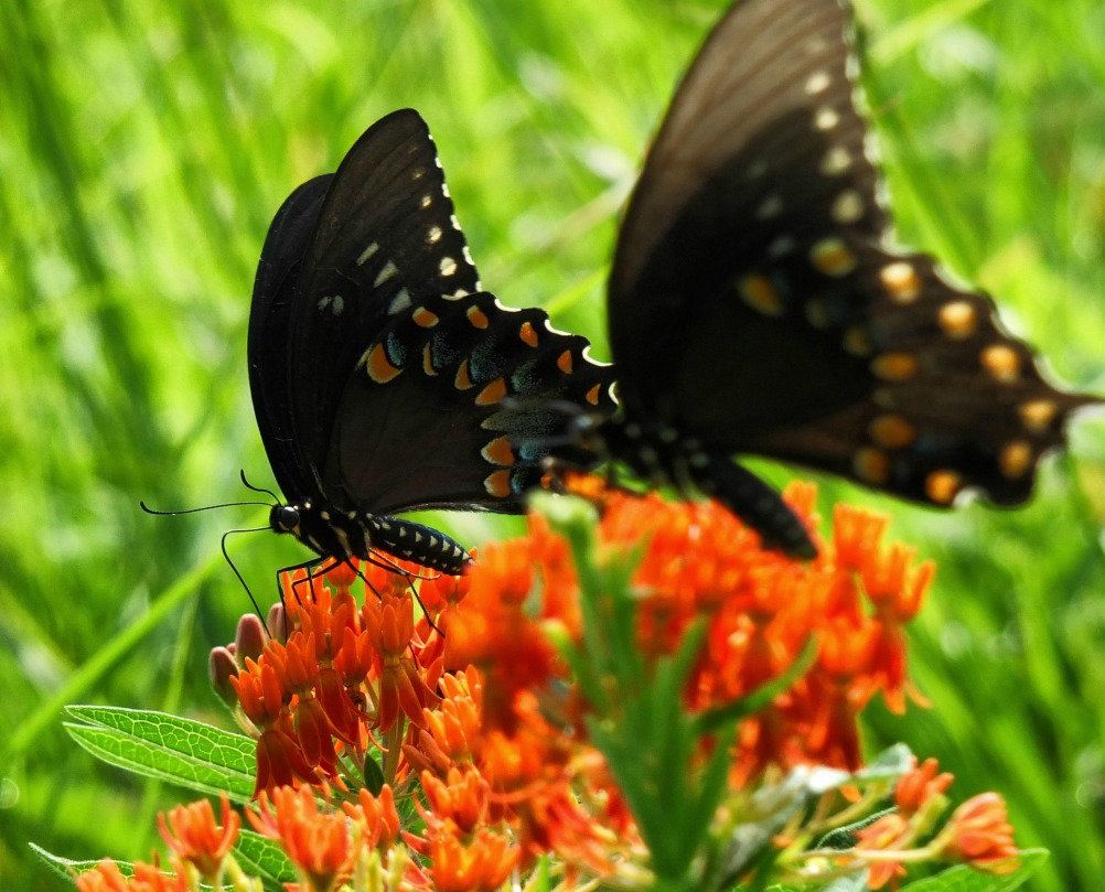 How to Attract Butterflies and Hummingbirds to Your Garden - Butterfly Weeds
