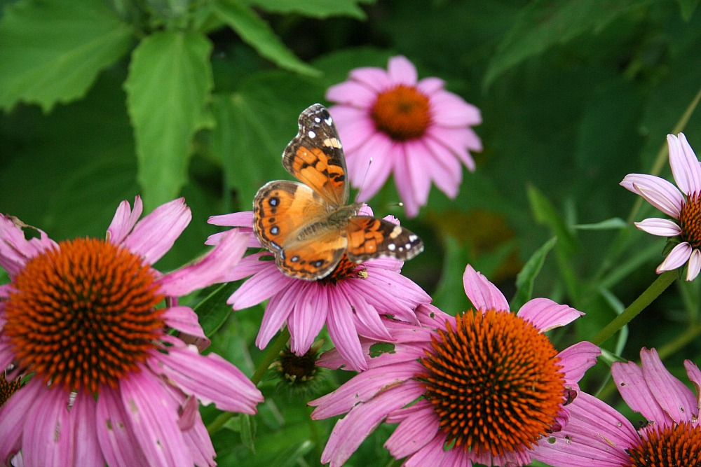 How to Attract Butterflies and Hummingbirds to Your Garden - Purple Coneflower